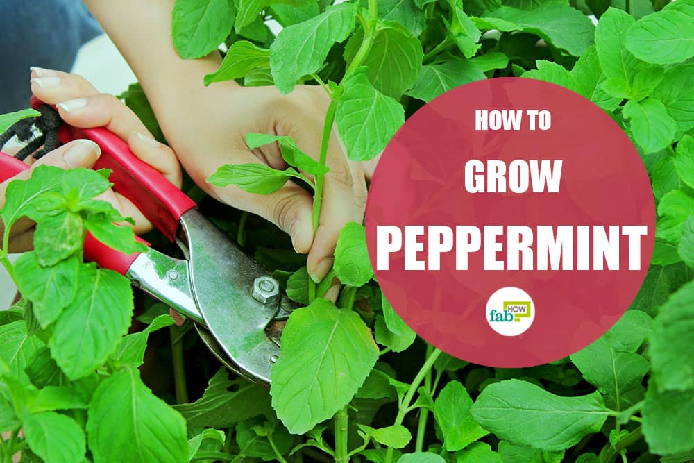 feat how to grow peppermint