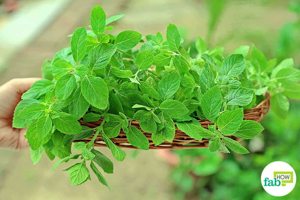 How To Grow Peppermint In A Pot Fab How