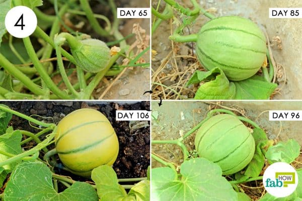Care for the plant during flowering and fruit development to grow muskmelon