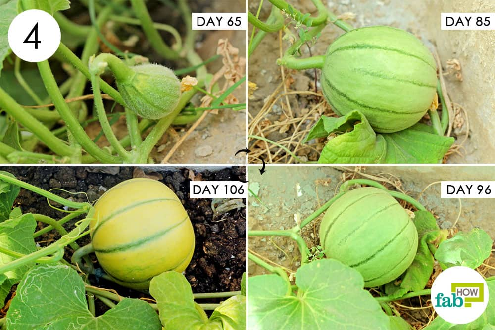 Care For The Muskmelon Plant During Flowering And Fruit Development Phase