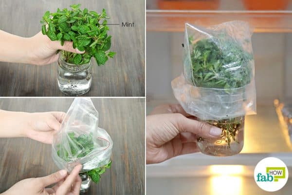 Place the mint bunch in water, cover it with plastic & refrigerate to preserve and store mint