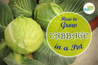 grow cabbage in a pot
