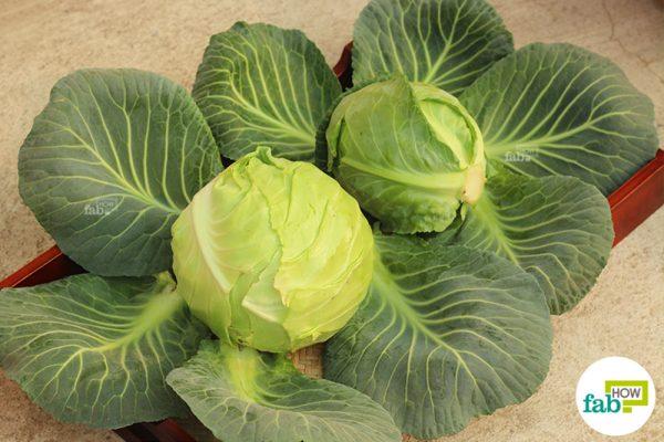crunchy cabbage harvest