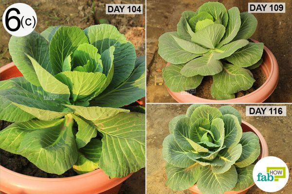 check cabbage growth
