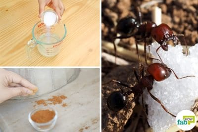 to get rid of sugar ants