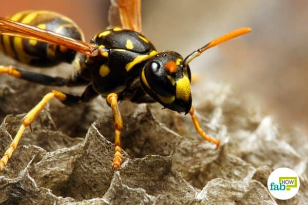 home remedies for yellow jacket sting