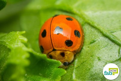 how to get rid of lady bugs