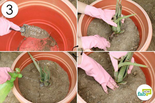 plant aloe vera again